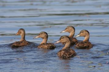 duck-416972_1280